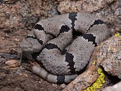 Banded Rock Rattlesnake (Crotalus lepidus klauberi) (Saundersdrukk) Tags: bandedrockrattlesnake crotaluslepidusklauberi banded rock rattlesnake crotalus lepidus klauberi snake animal nature newmexico