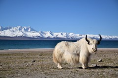 Yak in Namtso lake_Tibet (Sergio Capuzzimati) Tags: namtso lake tibet yak animal asia china landscape mountain nikon nature photography d3300