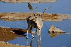 Greater Kudu (karstenzschache) Tags: kudu antilopen wildlife wildtiere namibia afrika africa fujixt2 xf100400 etosha