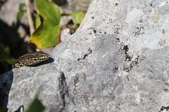 Wall lizard - Portland. (ChristianMoss) Tags: wall lizard portland dorset reptile podarcis muralis