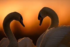 'Now That I Have Found You' (Jonathan Casey) Tags: swan courtship mating love romance sunset golden hour nikon 400mm f28 vr jonathan d850 casey photography norfolk broads whitlingham lake broad