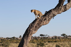 Cheetah perched high in tree on the lookout (Paul Cottis) Tags: bigcat cheetah mammal paulcottis 23 june 2019 climb tree savute botswana chobe africa