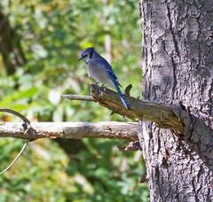 Blue jay (carpingdiem) Tags: bluejay birds indianapolis fall 2019