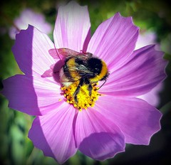 Bumblebee (Ioannis Ks) Tags: bumblebee cosmos flower insect garden nature crete