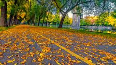 Autumn leaves on a park alley (Milen Mladenov) Tags: 2019 landscape montana montanesiumpark alley autumn citiy leaves nature park path road seasonal