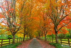 Rockwood Farm in Snoqualmie, Washington (Kirk Stauffer) Tags: kirk stauffer photographer nikon d5 october 2019 amazing awesome beautiful fabulous pretty stunning wonderful outdoors outside nature landscape maple trees fall autumn cool weather fog foggy color red yellow orange green brown leaf leaves fence long drive driveway seattle snoqualmie north bend river twin peaks foliage greenery vegetation flora plants branches cascade mountains tunnel