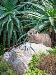 Rock hyrax (Thierry GASSELIN) Tags: daman hyrax rodent rongeur