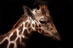 Giraffe (Ginzal) Tags: animal babygiraffe young tall mammal chesterzoo giraffe