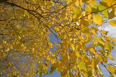 GoldenCascade (Tony Tooth) Tags: nikon d7100 sigma 1020mm leaves gold yellow blue golden autumn autumnleaves cascade leek staffs staffordshire