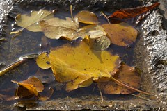 Marinade (Tony Tooth) Tags: nikon d7100 nikkor 40mm leaves autumnleaves water leek staffs staffordshire