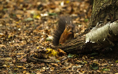 Secret Squirrel (Fourteenfoottiger) Tags: autumn autumncolours fall fallcolours woods forest woodland britishwildlife britishcountryside squirrel redsquirrel mammal cute pretty tufty red trees leaves nature rodent animal treesquirrel sciurus feeding eyecontact bushy