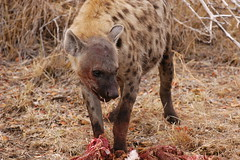 Spotted Hyena With Stolen Carcass (DeniseKImages) Tags: wildlife africa hyena hyenas spottedhyena spottedhyenas southafrica nature wild animal animals wildanimals wildanimal