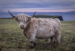 Blondie at Twilight (SkyeWeasel) Tags: scotland skye highlands landscape animal cow coo hairycoo livestock trumpan