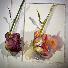Day 1530. The #rose #painting for today. #watercolour #watercolourakolamble #sketching #stilllife #flower #art #fabrianoartistico #hotpress #paper #dailyproject (akolamble) Tags: rose painting watercolour watercolourakolamble sketching stilllife flower art fabrianoartistico hotpress paper dailyproject