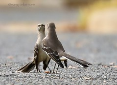 Mockingbirds (Mary Sonis) Tags: mockingbirds showdown challenge jordan lake bird nature wildlife