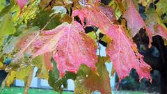Autumn Maple (Maximus Rayolus Noninterruptus) Tags: autumn fall maple leaf leaves colour tree rain drops raindrops