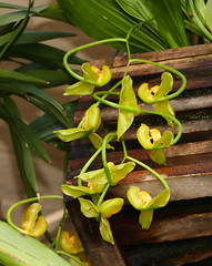 Gongora galeata var. luteola species orchid 10-19* (nolehace) Tags: flower bloom plant fall nolehace 1019 fz1000 sanfrancisco gongora galeata var luteola species orchid