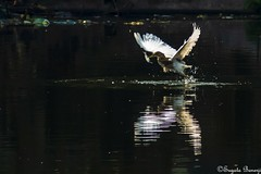 Catch (Joy Forever) Tags: heron bird wildlife fish water pond hooghly india hunting wings reflection flight fly