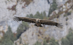 Griffon Vulture - - (Gyps fulvus) 'L' for large (hunt.keith27) Tags: gypsfulvus griffonvulture griffon vulture spain nesting soaring huge wingspan raptor carrion cliffs thermals colonies outdoor animal bird extramedura canon crop eos7dmk2