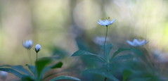 Untitled (jttoivonen) Tags: nature flowers plant flora white summer bokeh dreamy vintagelens creativecommons finland