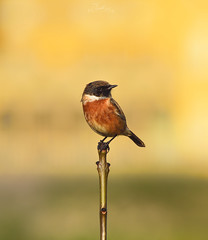 Male Stonechat with Dower House backdrop. (....Daniel....) Tags: stokepark stonechat dower house bristol nikond810 nikkor200500f56 autumn yellow birds pajaros