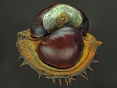 Horse Chestnut (Aesculus hippocastanum) (Nick_Fisher) Tags: horse chestnut aesculus hippocastanum nickfisher zerene stack olympus omd em10 mark ii olympusomdem10markii