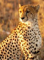 Amber Eyes (DeniseKImages) Tags: wildlife africa cat cheetah cheetahs spot spots southafrica nature wild animal animals wildanimals wildanimal
