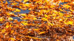 Fallen leaves (Milen Mladenov) Tags: 2019 landscape montana montanesiumpark alley autumn citiy leaves nature park path road seasonal