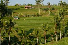 DSCF0224 (Indonesia Documentary Photographer) Tags: bali landscape tabanan unesco worldheritage riceterrace jatiluwih