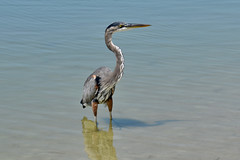 Great Blue Heron, Fort Desoto County Park, St. Pete Florida (thefloridagal) Tags: birds flickruploads ftdesota greatblueheron photoclub