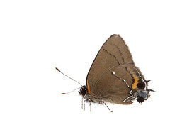 Fulvous Hairstreak butterfly on white 3 (brian.magnier) Tags: myn meet your neighbours white background nature wildlife animals macro florida fl usa
