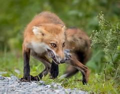 Help Me (Jerry_a) Tags: fox redfox animalsfeeding wardmuseum vulpesvulpes wildlife wildlifecanon600mmf4 canon1dxmarkii delaware bombayhook bombayhooknwr