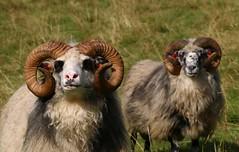 Lovely boys (annazelei) Tags: kos birka természet nature naturephotography animal ram sheep double pair national norway norge norvégia állat emlős canon flickr