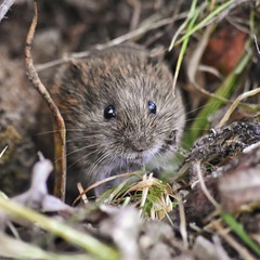 Field Vole close up (rachelwield) Tags: naturephotography wild leightonmoss rspb naturelover closeup nikon mammal wildlifephoto natureshot rspbleightonmoss wildlifephotography fieldvole nature wildlife