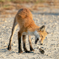 Red Fox and the Bite Sized Vole (Jerry_a) Tags: fox redfox vulpesvulpes vole bombayhook bombayhooknwr
