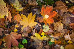 Autumn leaves. (Oleg.A) Tags: grass autumn sunny russia nature flower outdoor evening orange leaves colorful forest style park yellow sun shadow fall zolotarevka penzaoblast