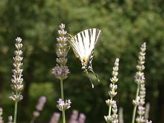 Papillon (Michel Hutin) Tags: 2002 fleurs papillon