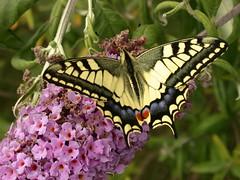 grand papillon (Michel Hutin) Tags: 2002 fleurs papillon