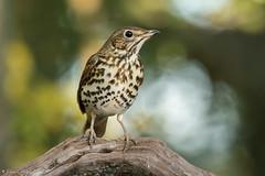 Grive musicienne (DorianHunt) Tags: songthrush birds bokeh october 2019 switzerland nikond500 sigma 150600mm