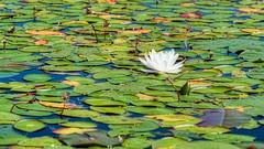 Tweaking the habitat (Wicked Dark Photography) Tags: wisconsin flower flowers kayaking lilypads summer waterlily waternature wildflower wildflowers