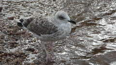 Herring gull? (Deanne Wildsmith) Tags: gull herringgull chasewater staffordshire bird earthnaturelife