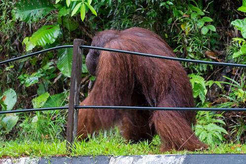Was für ein Highlight - plötzlich kam Ritchie direkt neben uns aus dem Dschungel auf die Straße. Ein Mitarbeiter kam schnell und gab ihm Futter. Gesehen im Semenggoh Orang Utan-Rehabilitationszentrum, Borneo