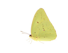 Cloudless Sulphur butterfly on white (brian.magnier) Tags: myn meet your neighbours white background nature wildlife animals macro florida fl usa