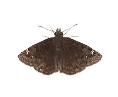 Horace's Duskywing butterfly on white (brian.magnier) Tags: myn meet your neighbours white background nature wildlife animals macro florida fl usa