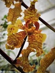 Cyrtopodium saintlegerianum (Sylvio-Orquídeas) Tags: orquídeas orchids orchidée orchidaceae flores flowers espécies species macro garden cyrtopodium saintlegerianum