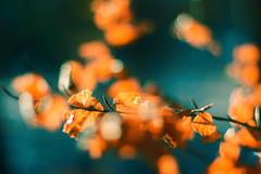 Autumn leaves (bożenabożena) Tags: leaves autumn light yellow nature october tree bokeh goldenleaves jesień złoteliście żółty natura październik drzewa swiatło old