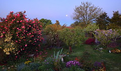 Our Garden by Moonlight (Lani Elliott) Tags: homegarden garden flowers flower sky moon moonlitgarden colour colourful blossoms trees shrubs bluesky moody dreamy