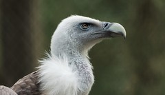 Gänsegeier .... (Fritz Zachow) Tags: weltvogelpark walsrode geier vogel gänsegeier deutschland