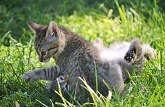 Kittens playing - Sardinia (En memoria de Zarpazos, mi valiente y mimoso tigre) Tags: kitten kittens playing gatitos cat gatti gattini giocando jugando grass hierba sardinia cerdeña sardegna tabby cc100