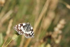 En demi-deuil !!! (passionpapillon) Tags: macro insecte papillon butterfly demideuil passionpapillon 2019 melanargiagalathea ngc